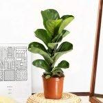 La pianta con la foglia che ricorda la Lira.