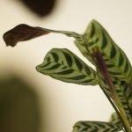 Ctenanthe burle-marxii H 35cm D 14 cm