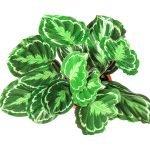 Calathea Roseopicta