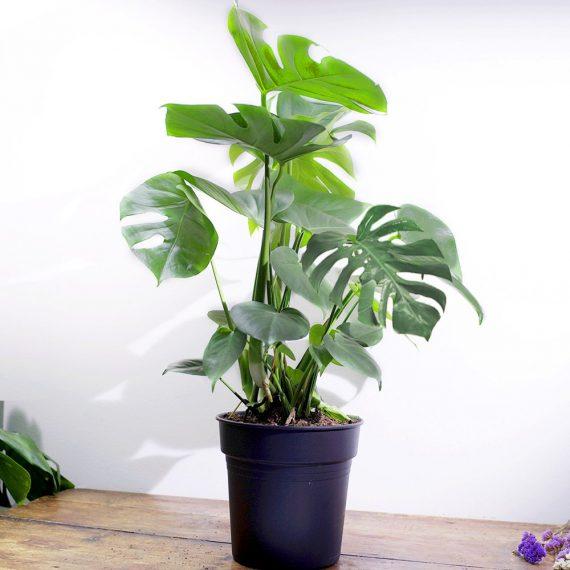 La pianta con le foglie bucate.