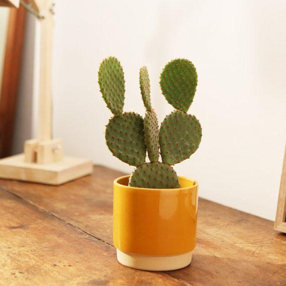 il cactus piatto dalle spine invisibili