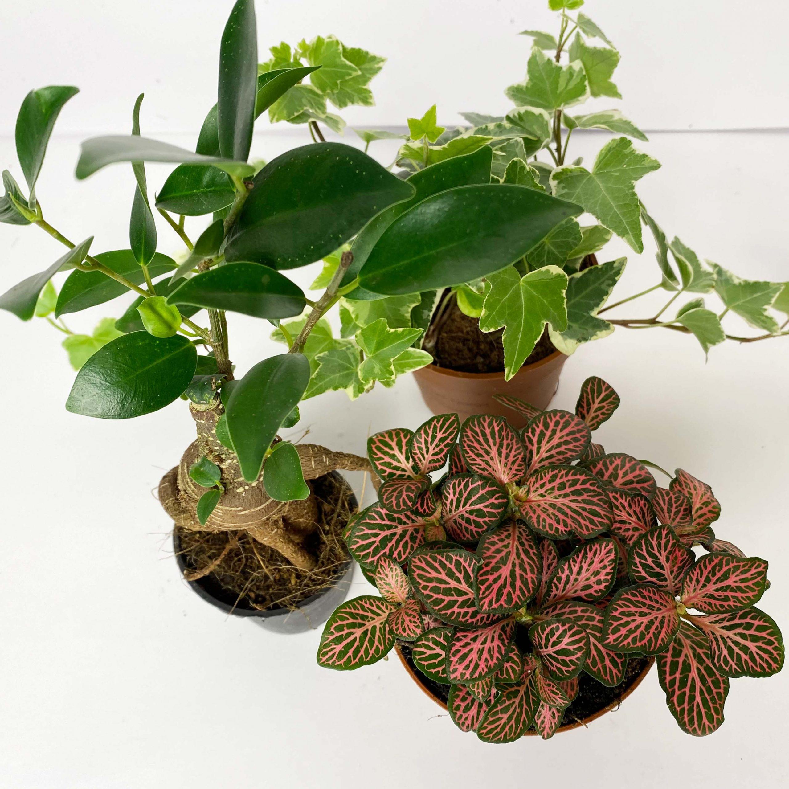 Le Piante Giuste Per Il Terrario Edera Ficus Ginseg Fittonia If Creative Hub