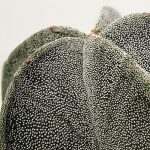 Il cactus degli altopiani messicani.