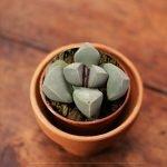 La succulenta che assomiglia ad un sasso.