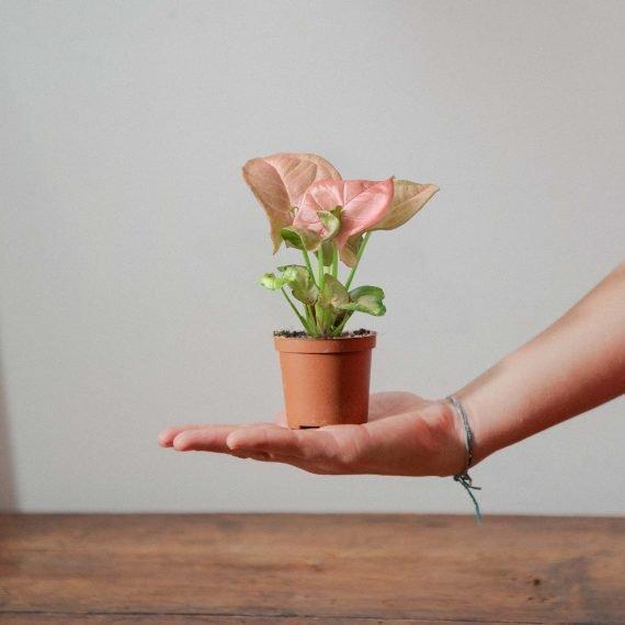 Il baby Syngonium rosa a cui non resisterai