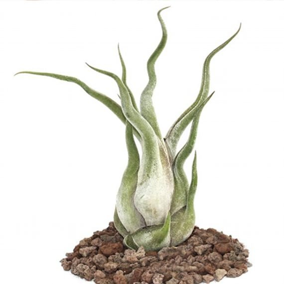 La pianta senza radici