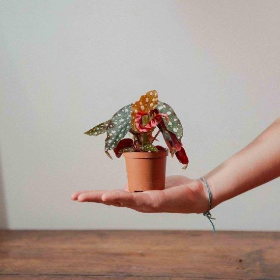 Begonia maculata, foglie a pois e fiori bianchi.