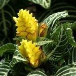 L'Aphelandra foglie dipinte e fiori giallissimi.