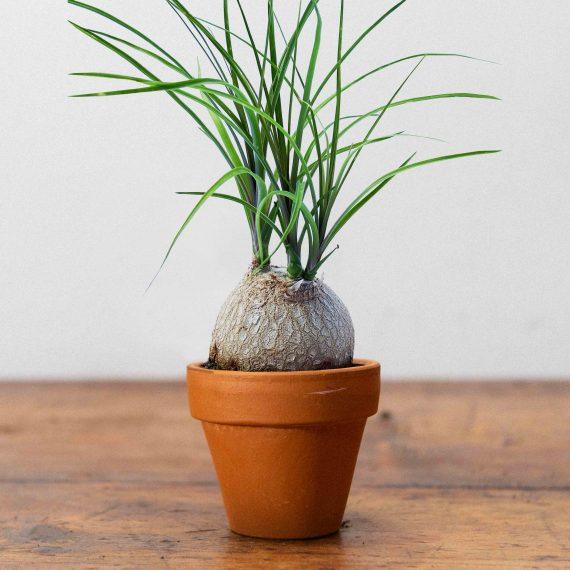 La piccola pianta mangia fumo.