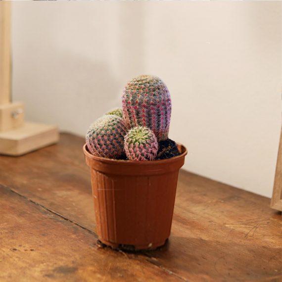 Il Cactus Rosa che che vi conquisterà.