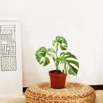 la pianta con la foglia bianca: La monstera variegata.