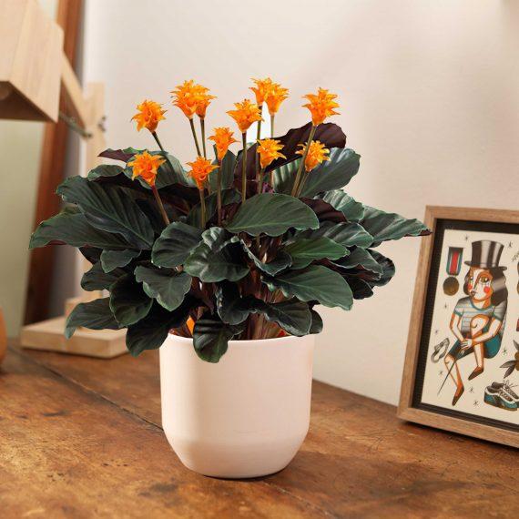 La Calathea con i fiori arancioni.