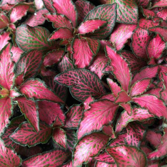La pianta colorata che non può mancare nel tuo terrario