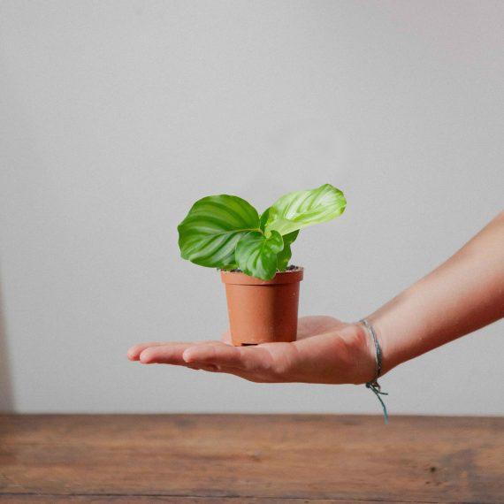 baby orbifolia