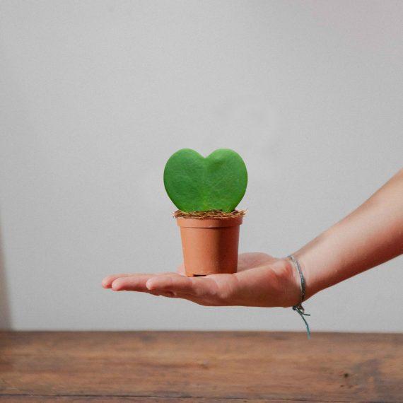 la pianta a forma di cuore